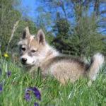 Parc du chien nordique